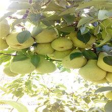 优良品种梨树苗黄宝石梨树苗价钱图片