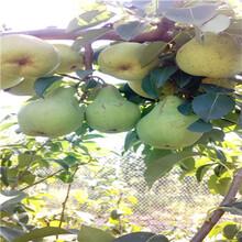 江苏黄金梨树苗价格图片