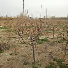三公分新梨7号梨树苗繁育出售基地图片