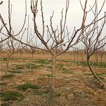 地径一公分金秋梨梨树苗批发价格图片