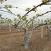 五公分当年结果皇冠梨树苗批发多少钱