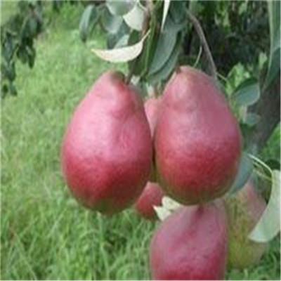 地径一公分红梨一号梨树苗批发价格