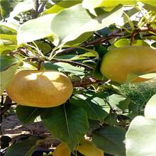 河北三红梨梨树苗哪里有卖的图片