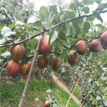 貴州皇冠梨樹苗價格是多少錢圖片