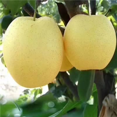 2020年山东意大利黑梨苗市场报价