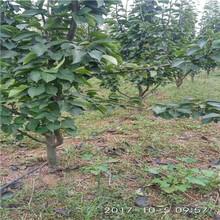 新品种梨树苗价格山东香梨苗多少钱一课图片