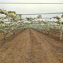 河北秋月梨樹苗哪里有賣的圖片
