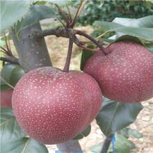 定植两年的秋月梨树苗哪里有品种纯正图片