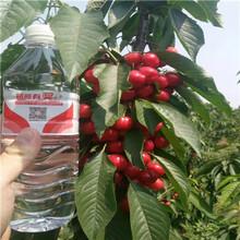 黑珍珠櫻桃苗批發價格五公分當年結果黑珍珠櫻桃苗批發價格圖片