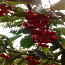 地徑一公分黑珍珠櫻桃苗出售價格圖片