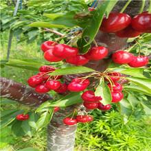 砂蜜豆樱桃苗一棵价钱三年的砂蜜豆樱桃苗一棵价钱图片
