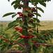 吉塞拉12矮化櫻桃苗兩年生矮化吉塞拉12矮化櫻桃苗價格及報價