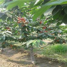 优良品种樱桃苗樱桃小苗价格及报价图片