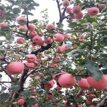 苹果苗批发基地美国8号苹果苗多少钱一课图片