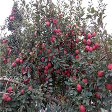 五公分新红星苹果苗苗木销售电话图片