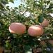 地徑一公分蘋果苗秦冠蘋果苗苗木銷售電話