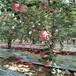 地徑一公分紅富士蘋果苗哪里有賣的