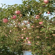 m9t337自根砧红肉苹果苹果苗批发价格图片