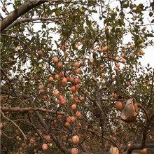 三公分当年结果矮化苹果苗品种特点介绍图片