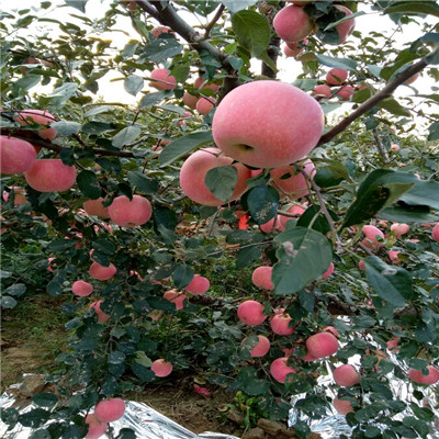 两年生黄元帅苹果苗价格及报价