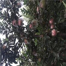 m26中间砧矮化烟富10苹果苗批发价格图片