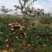 柱狀蘋果苗m9t337自根砧柱狀蘋果苗苗木銷售電話