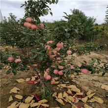 定植两年的响富苹果苗批发多少钱图片