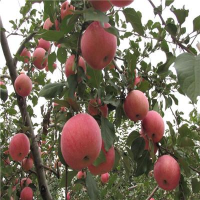 贵州响富苹果苗品种特色