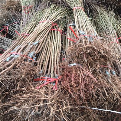 紅西梅李子苗高度一米以上的紅西梅李子苗價位