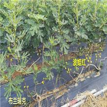 江蘇兩年生中農矮生無花果苗出售價格圖片