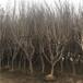 白籽石榴苗定植兩年的白籽石榴苗一棵價錢