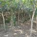 白如玉石榴苗种植季节五公分大石榴树品种特点介绍