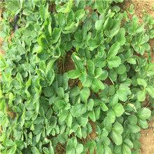 新品種草莓苗明旭草莓苗新品種草莓苗市場報價圖片