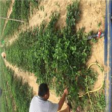 品种纯正童子一号草莓苗、童子一号草莓苗苗圃场电话图片