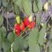 搭棚草莓苗品种白雪公主草莓苗、白雪公主草莓苗批发基地在哪里