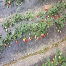 品种纯正佐贺清香草莓苗、佐贺清香草莓苗价格是多少钱图片