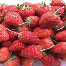 山东久香草莓苗批发基地图片