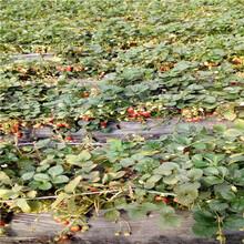 山东草莓苗基地甜查理草莓苗、甜查理草莓苗价格是多少钱图片
