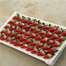 草莓苗繁育基地明宝草莓苗、明宝草莓苗报价多少钱图片