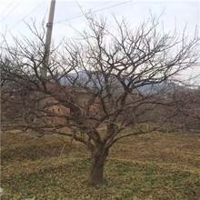 黑籽石榴苗一棵價錢粗度兩公分的黑籽石榴苗一棵價錢圖片