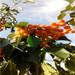 地徑一公分烏克蘭櫻桃苗價格是多少錢