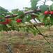 吉塞拉12矮化櫻桃苗地徑一公分吉塞拉12矮化櫻桃苗每天報價