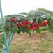 紅瑪瑙櫻桃苗矮化三公分紅瑪瑙櫻桃苗批發價格