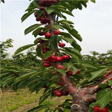 两年生矮化福翠甜樱桃苗每天报价图片