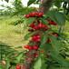 五公分当年结果早大果樱桃苗哪里有卖的