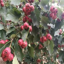 山东甜红籽山楂苗怎么卖的图片