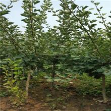 五公分当年结果甜红籽山楂苗价格图片
