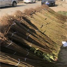 两年的香椿树小苗价格是多少钱图片