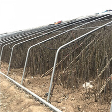 高度一米以上泰山紅油香椿苗價格圖片