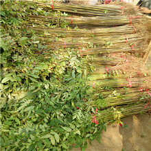 三公分紅油香椿大苗怎么賣的圖片